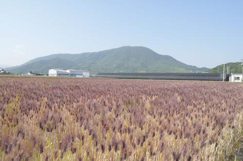 ダイシモチ麦畑の写真 紫色の穂がたなびいている。  香川県善通寺市ホームページから引用